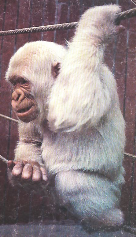 Copito de nieve , el famoso gorila albino del zoológico de Barcelona .