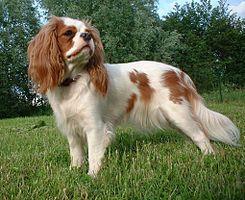 El Cavalier King Charles Spaniel es una raza de perro pequeño, de temperamento activo y alegre. Su principal función ha sido la de mascota de compañía lo que se muestra en pinturas del siglo XVI