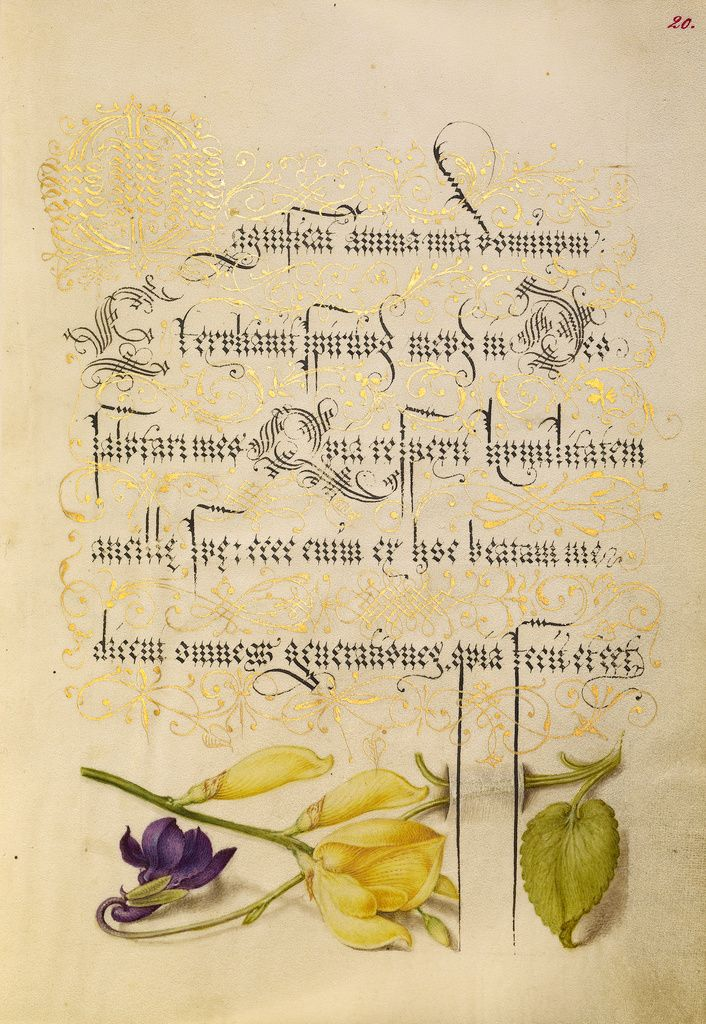 Sweet Violet and Spanish Broom; Joris Hoefnagel (Flemish / Hungarian, 1542 - 1600), and Georg Bocskay (Hungarian, died 1575); Vienna, Austria, Europe; 1561 - 1562; illumination added 1591 - 1596; Watercolors, gold and silver paint, and ink on parchment; Leaf: 16.6 × 12.4 cm (6 9/16 × 4 7/8 in.); Ms. 20, fol. 20; J. Paul Getty Museum, Los Angeles, California