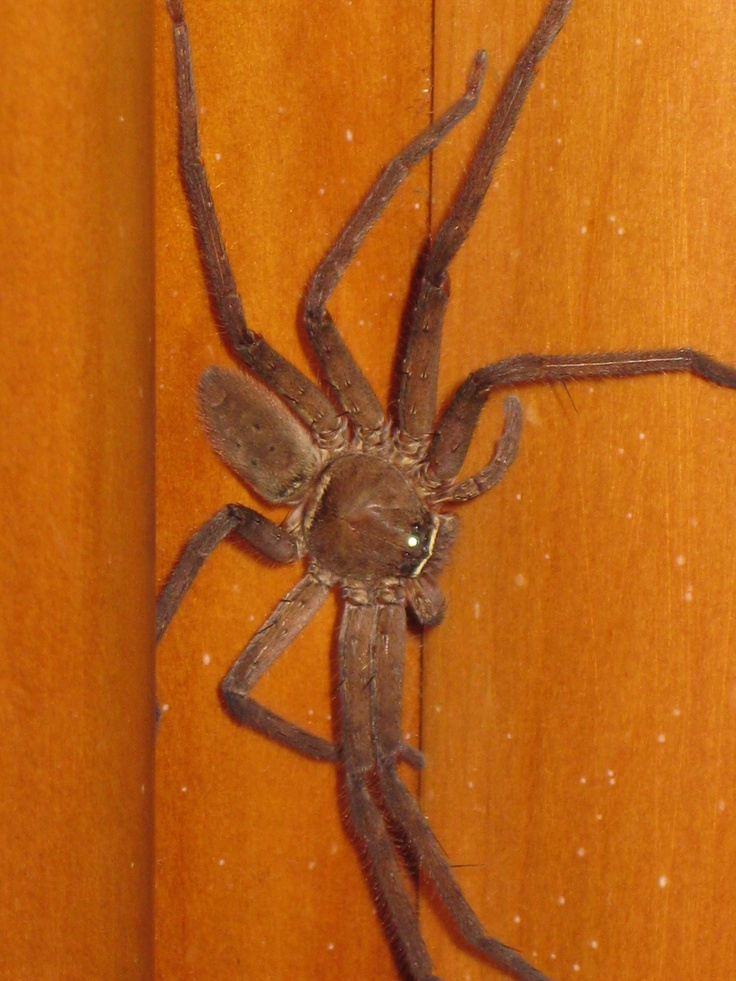 fiji spider...yes, they are pretty big! 3 inches? and furry, blech!