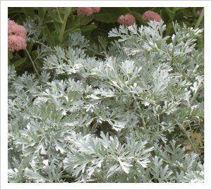 Artemisia absinthum 'Lambrook Silver' | Lambley Nursery