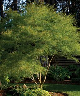 'Koto no ito' or 'Harp Strings' - leaves are very fine and delicate looking although the tree is very hardy and durable. Spring color is light green and fall color is shades of yellow and orange. Requires mostly shade in the south. 9-12x10'