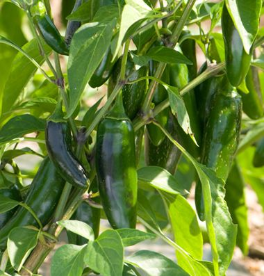 """Jalafuego (F1) Pepper Seed  Our highest yielding jalapeno.  Vigorous plants consistently produce very high yields of 3 1/2 to 4"""" fruits that are resistant to cracking. Similar to El Jefe, but a few days later with a higher yield potential. Resistant to BLS 1-3. Avg. 2,800 seeds/oz. Packet: 25 seeds."""