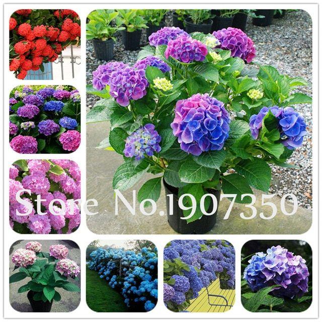 20 PCs Seeds Multiple Colors Hydrangea Bonsai Perennial Flower Plant Balcony New