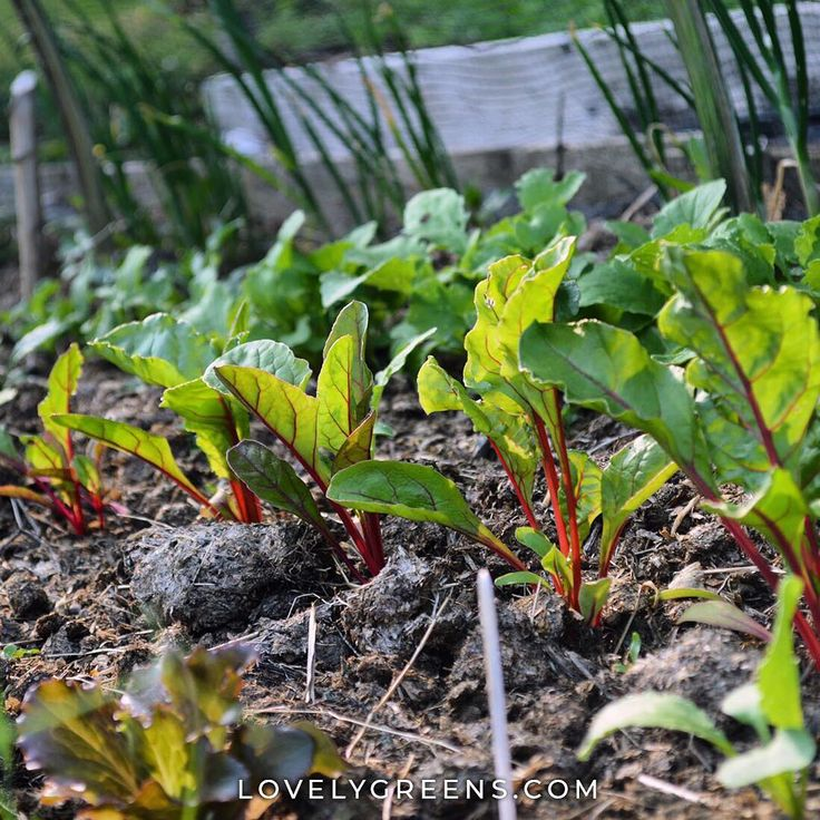 Ruby Chard In The Evening Sun When These Baby Plants Grow