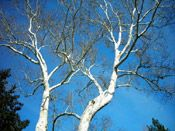 Sycamore Tree: Pictures, Images. Photos, Facts of Sycamores