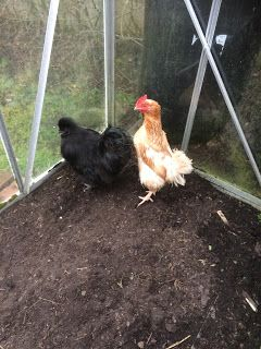Use your greenhouse for chickens