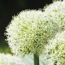 Ail d'ornement - Allium karataviense Ivory Queen