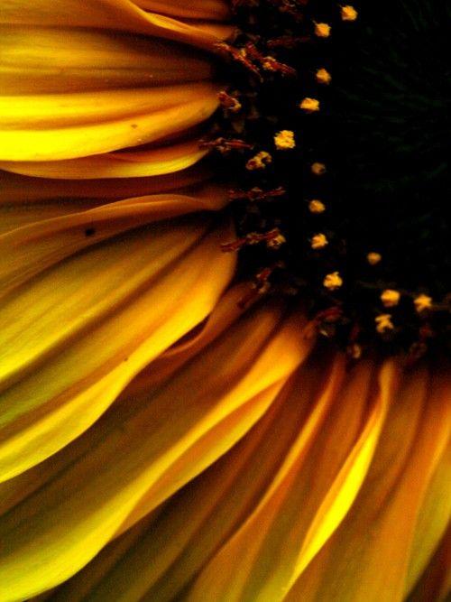 Sunflower, flower, photography, yellow,