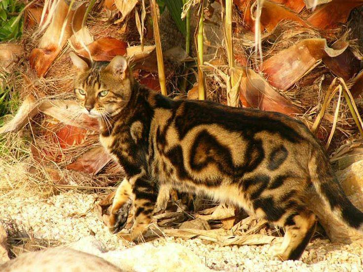 Chocolate Marble Bengal   ... es tu oportunidad de comprar un gato bengali ejemplo marble adulto