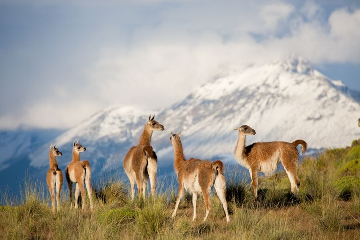 Guanacos in Valle Chacabuco in   Parque Patagonia, Chile.