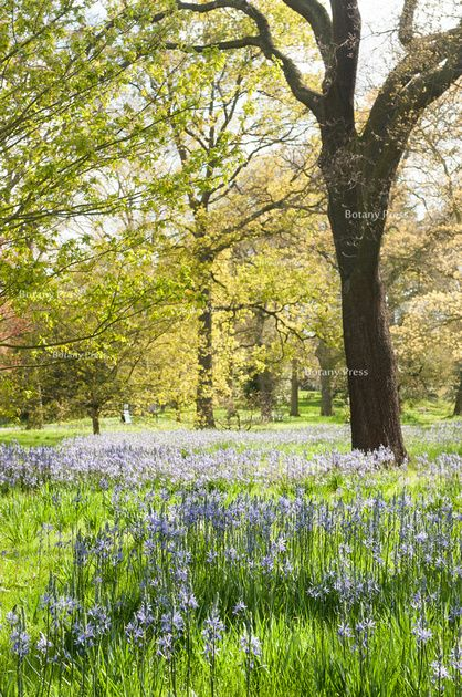 Common names include Camas, Quamash, Indian hyacinth, and Wild hyacinth. Camassia is a perfect plant for extending the spring bulb season. Camassia does best in full sun or part shade in moist soil. Light: Sun,Part Sun Zones:3-10 Plant Type:Bulb Plant Height:To 4 feet tall Plant Width:To 1 foot wide Flower Color: Blue, White Bloom Time: Spring, Summer Landscape Uses:Containers,Beds & Borders Special Features: Cut Flowers, Tolerates Wet Soil,Deer Resistant