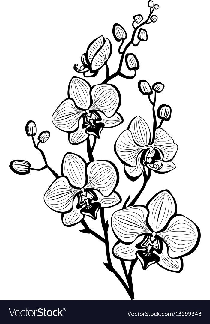 Sketch Of Branch Orchid Flowers Download A Free Preview Or High Quality Adobe Illustrator Ai Eps Pdf And Hi Orchid Drawing Orchid Illustration Orchid Tattoo