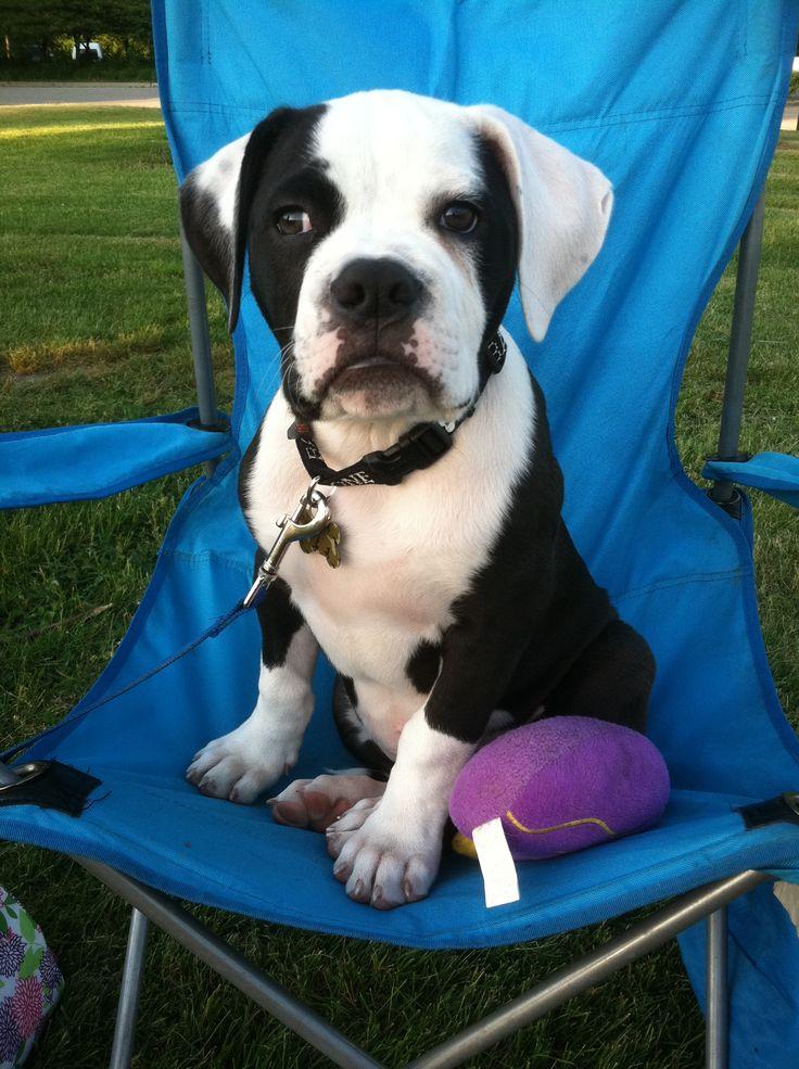 Watching daddy play softball! American bulldog puppy