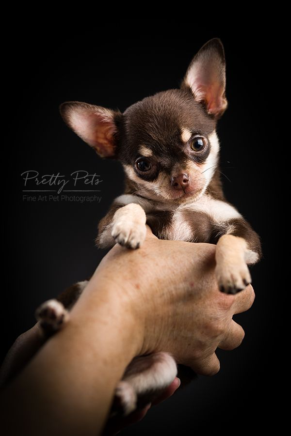 Pin By John Pope On Puppies Teacup Chihuahua Teacup Chihuahua
