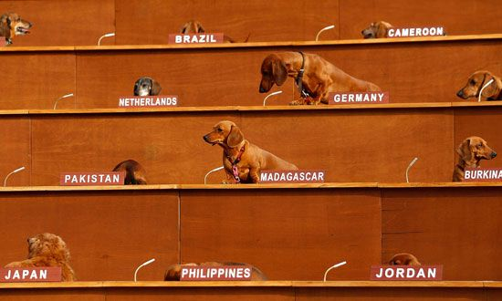 Dachshunds are seen during a 2010 performance and art installation titled, 'Dachshund U.N.', at the Melbourne Museum in Melbourne, Australia. The i...
