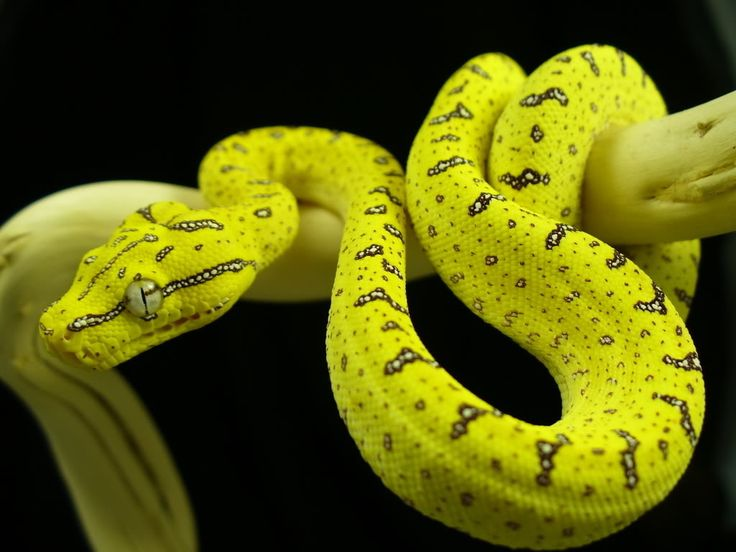 """Baby green tree python"""