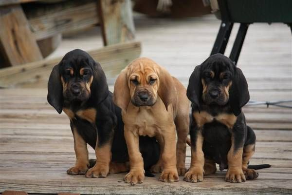 Bloodhound puppies - reminds me of when I used to raise these.