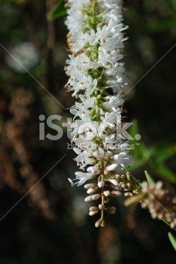 New Zealand Hebe Flower Royalty Free Stock Photo