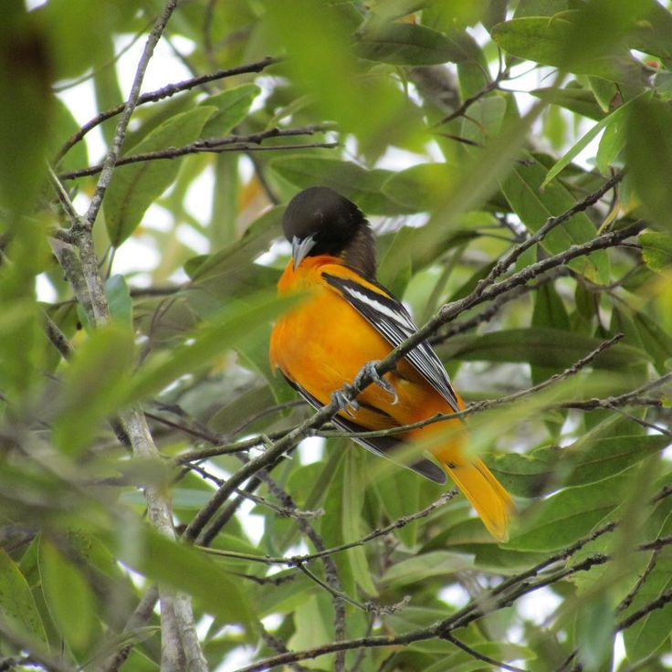 Baltimore Oriole #bird #orioles #nature #wildernesss