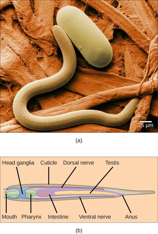 10 best phylum nematoda images on pinterest worms