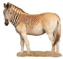 Quagga Project - Breed zebras most resembling quaggas to resurrect it