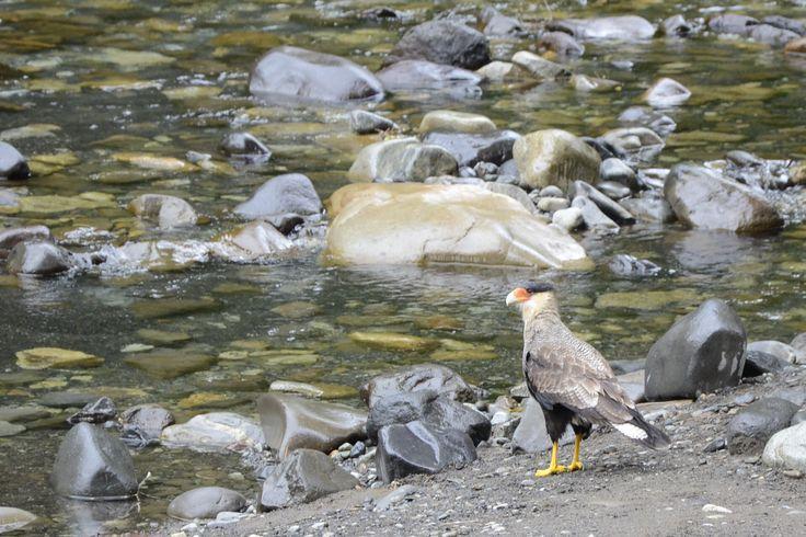 Traro, Caracara plantus, en el río de Aguas Calientes, Osorno.