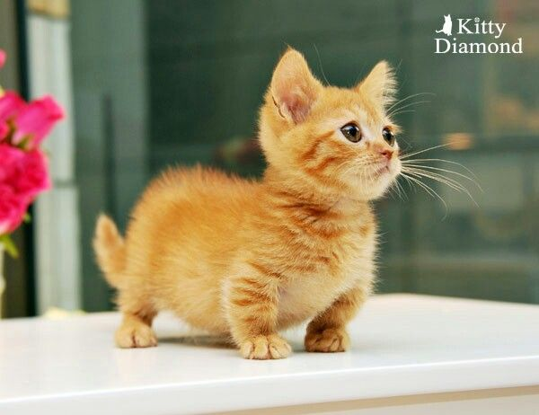 Munchkin kitten, so cute and like OMG! get some yourself some pawtastic adorable cat apparel!
