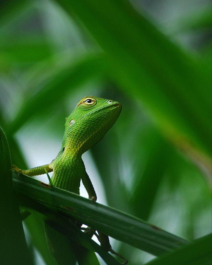 "Gefällt 8,706 Mal, 19 Kommentare - Wildlife Animals & Nature (@wildlife.hd) auf Instagram: "". Photography by © (Rajeev Raam).The green chameleon from inside the grass. #Wildlife #Chameleon…"""