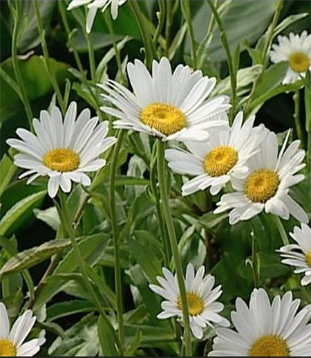 best  shasta daisies ideas on   cottage gardens, full, Beautiful flower