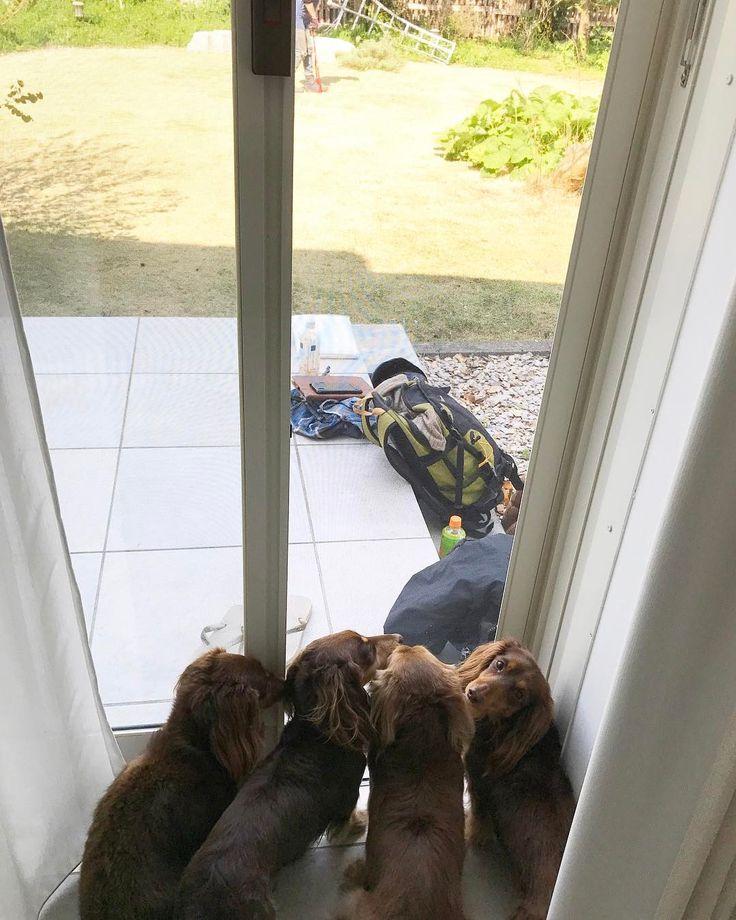 Gardeners working today humor! . 私たちのお庭に人がいるのなローズさんと興味いっぱいな子供たち . 今の時期にきちんとお手入れをしてもらわないと大変になることが去年わかったので今年はきちんと庭師の方に入っていただきました1人だとやれることは限られます草が伸びると虫が増えるお庭でいっぱい遊びたいローズ一家にはあまり良くないことなんですこれを防ぐためには庭師の方に入っていただくしかありませんお天気いい中ローズ一家には頑張って我慢してもらったけれどもこれからいっぱいお庭で遊べると思ったらよかったね . #ダックス #短足部 #多頭飼い #チョコタン #チョコクリ #犬バカ部 #ワンコなしでは生きて行けません会 #おひとりさまワンコ部 #おひとりさまワンコごはん部 #癒しわんこ #犬ごはん #dachs #dachshund #doxie #ふわもこ部 #エンジェルわんず倶楽部 #おひとりさまとローズ一家
