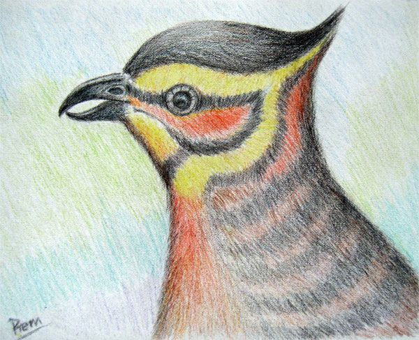 Zxs colour pencil drawingpencil