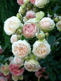 Perfect for a clipping garden. Eden rose- also known as the pierre de ronsard---old french rose. // Great Gardens & Ideas //