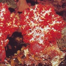 coral aquarium ornament, Dendronephthya sp