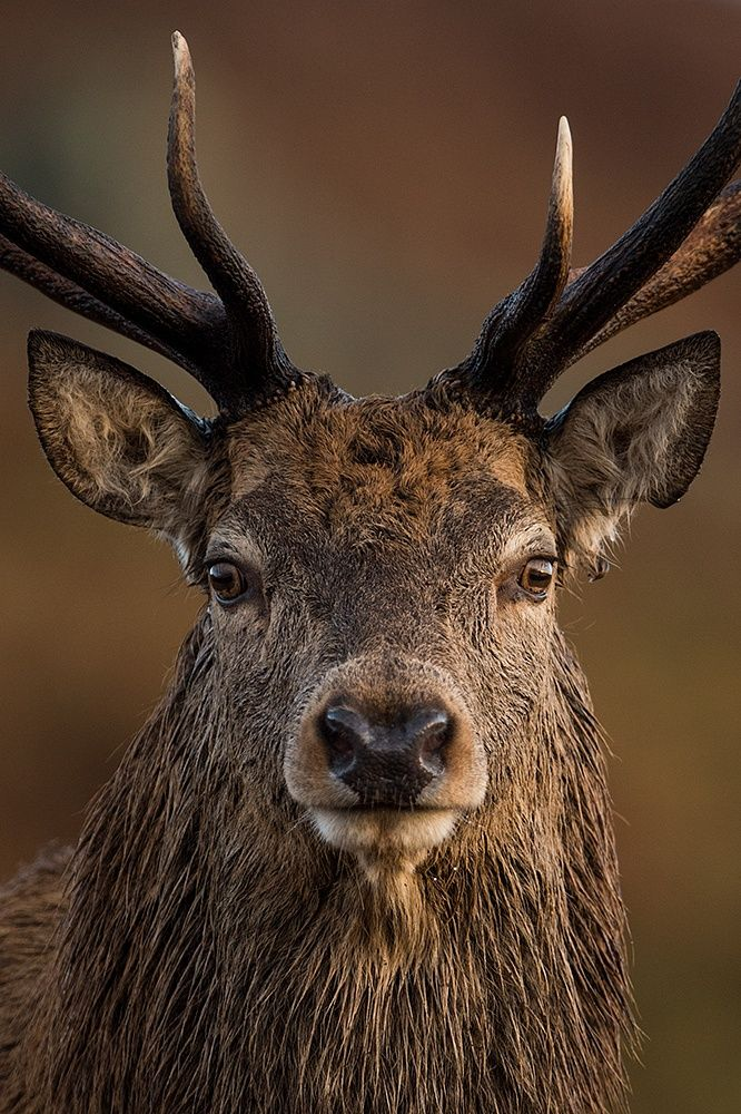 A nice close-up from this years rut. A real character and full of charme. A real gent to the lady's, too.