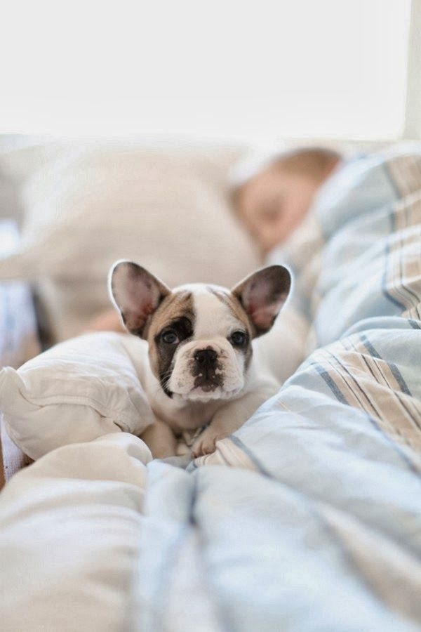 French bulldog puppy <3