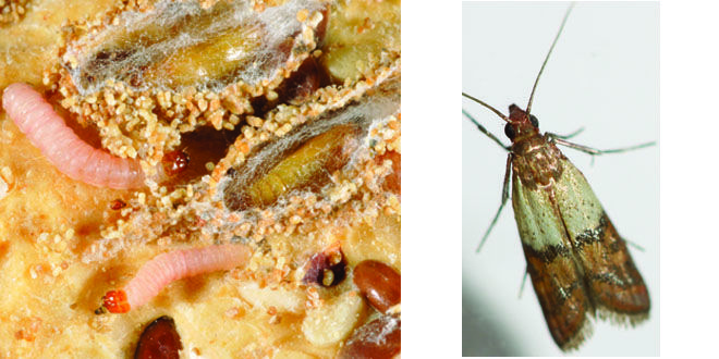 17 best ideas about pantry moths on pinterest clean