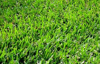 Bermuda Grass--best grass for play lawn areas.   https://www.pennington.com/all-products/lawn-garden/grass-seed/seeding/pennington/pennington-bermudagrass-blend