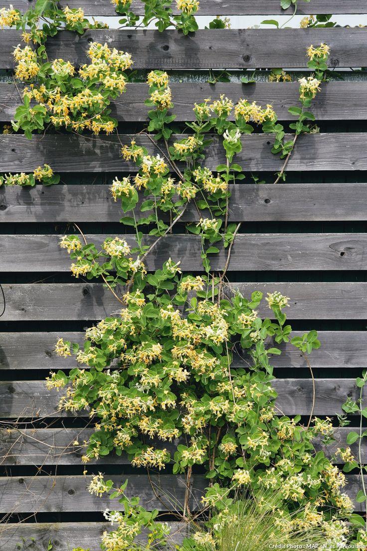 les 25 meilleures id es de la cat gorie plante grimpante sur pinterest treillage jardin. Black Bedroom Furniture Sets. Home Design Ideas