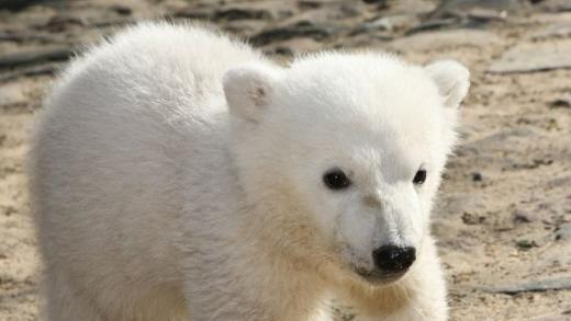 Knut: Forscher finden Ursache für den Tod des berühmten Zoo-Eisbären – SPIEGEL ONLINE – Johanna Scholts