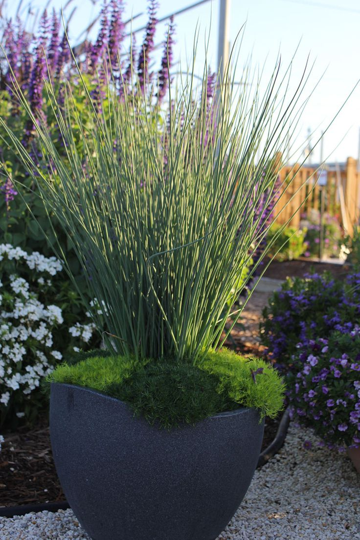 Buy blue dune lyme grass in nw arkansas - 17 Best Images About Ornamental Grasses On Pinterest Gardens Sun And Shock Wave