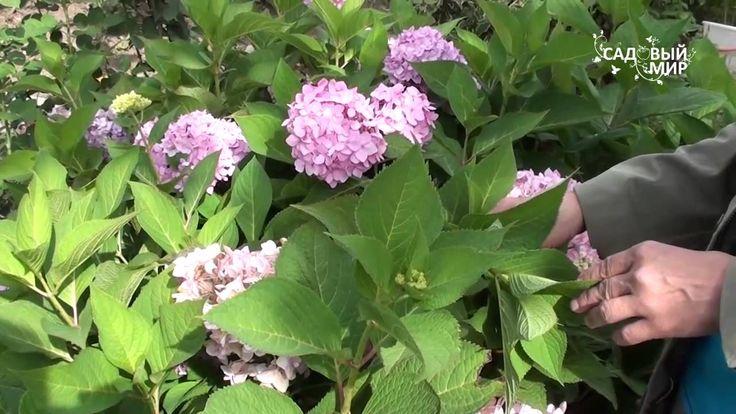 Садовые гортензии уход обрезка и зимовка.Консультант Л И Калашникова