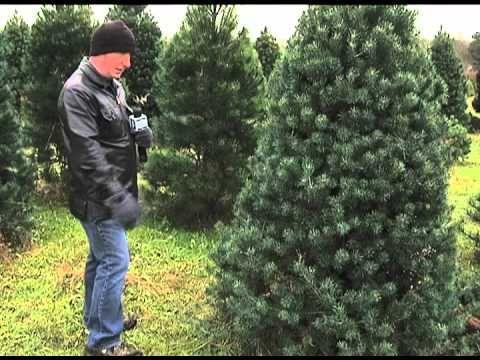 off the beaten path pioneer trails tree farm christmas - Christmas Tree Farms In Ohio