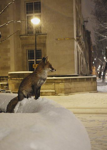 red fox in snowy london | animal + urban wildlife photography