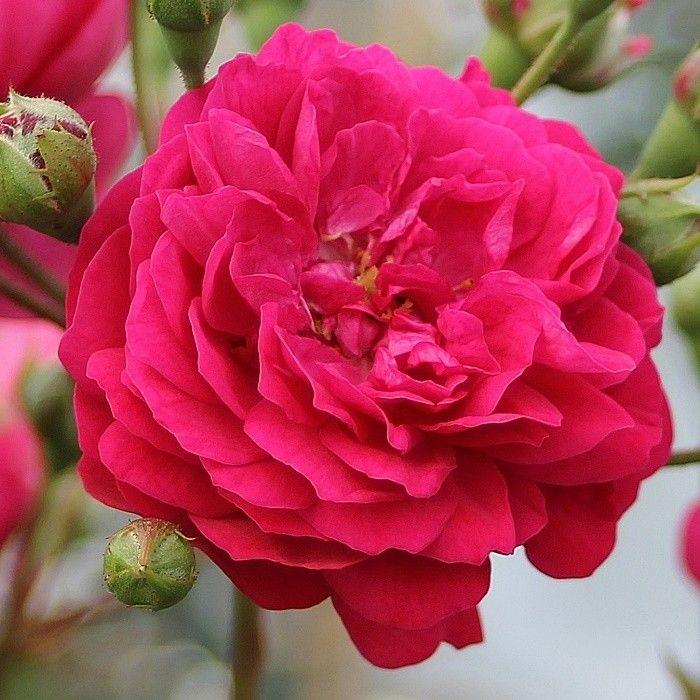 Lola® Starlet Rose