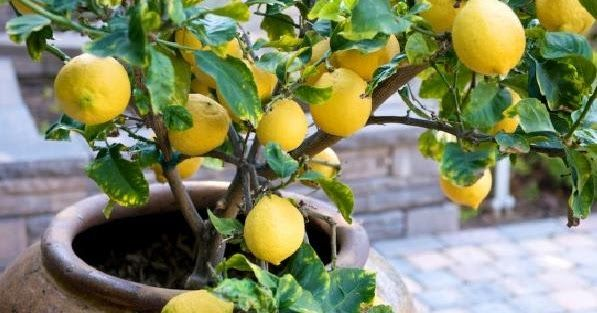 After a visit to Sorrento Italy in April of 2000, we were immediately smitten with all the wonderful lemon trees adorning the Italian coastl...