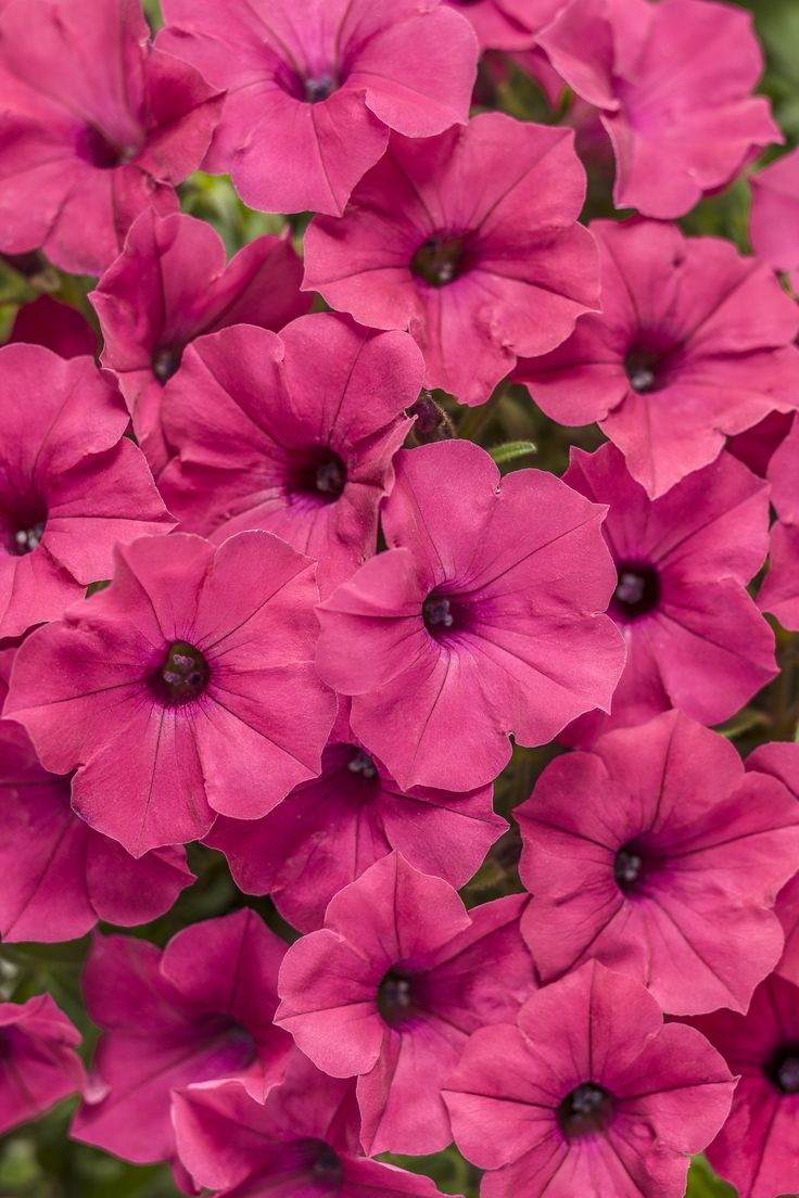 Supertunia® Vista Fuchsia Petunia hybrid. Supertunia® Vista Bubblegum® - Petunia hybrid. Self dead-heading, prolific bloomer, fills in space to prevent weeds. full sun, more frost hardy than Impatiens. Recommended by Cincinnati Zoo and Botanical Gardens