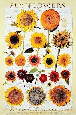 Camp Wander - sunflowers