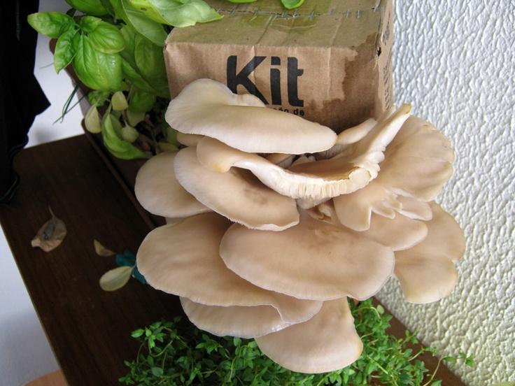 A Cogus Box é um kit de produção de cogumelos que transforma borras de café e cartão em comida saudável e deliciosa!