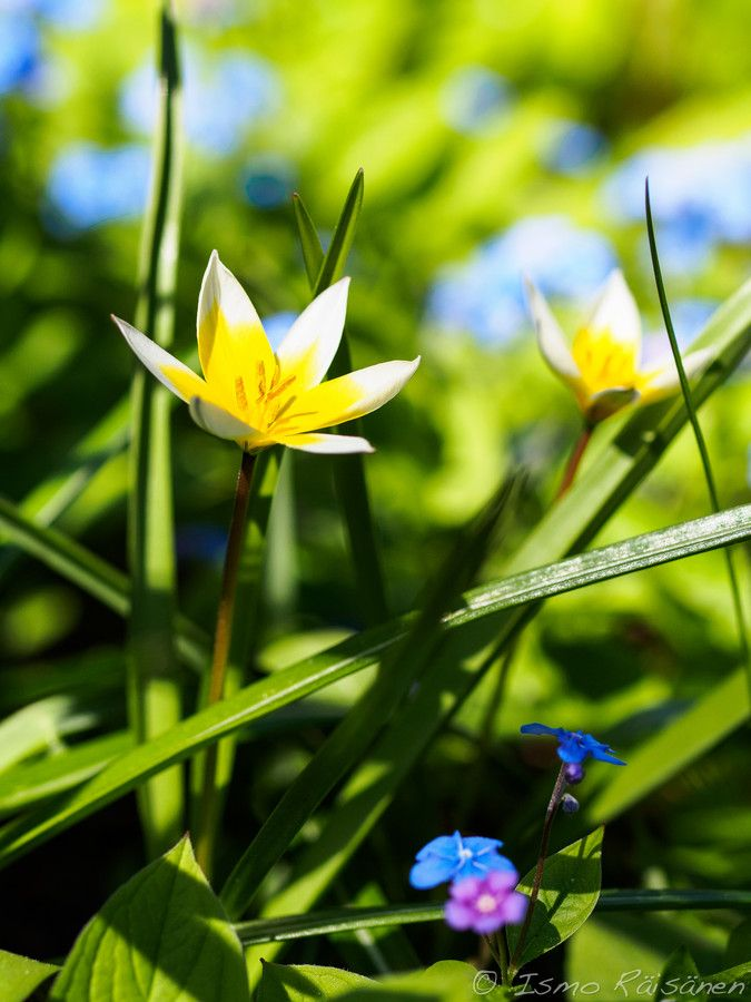 In the Garden - Tulipa tarda by Ismo Räisänen on 500px. http://ismo-raisanen.artistwebsites.com/